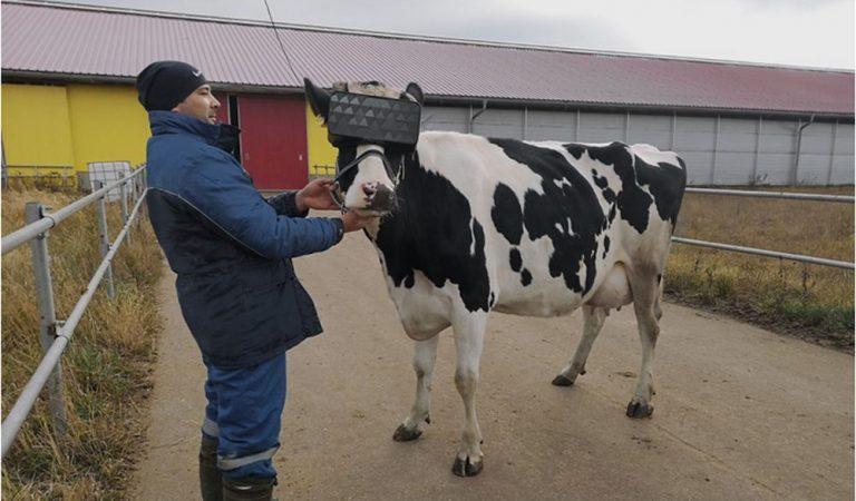รัสเซียสวมแว่น VR ให้วัวเห็นหญ้าสีเขียวสด!